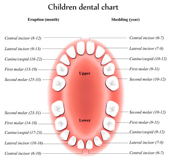 Tooth Eruption Chart - Pediatric Dentist in Jackson, New Jersey